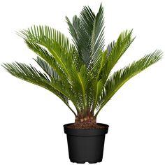 8 szobanövény, ami a legsötétebb sarokban is él és virul   Nosalty Cactus Plants, Garden Plants, Indoor Plants, Garden Landscaping, Planting Flowers, Fall Decor, Orchids, Palm, Japan