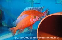 SEE VIDEOS ,@ TONYSAFRICANCICHLIDS.CO.UK , DELIVERY NOW ONLY £15.00,QUALITY MALAWI CICHLIDS FOR SALE AND VICTORIAN CICHLIDS FOR SALE,DELIVERY TO YOUR DOOR, at Aquarist Classifieds