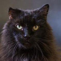 Palm Springs, CA - Domestic Longhair. Meet Tinker a Cat for Adoption.