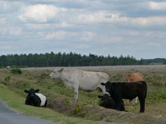 Cows on the New Forest .UK