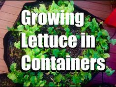 Growing Lettuce in Containers, Easy Harvest and Cold Weather Tips // Gro...