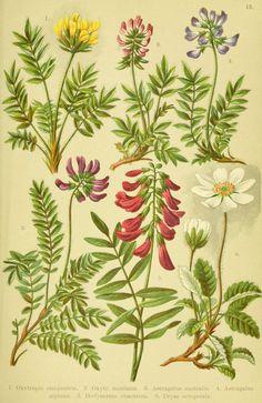 Alpen-Flora für Touristen und Pflanzenfreunde Stuttgart :Verlag für Naturkunde Sprösser & Nägele,1904. biodiversitylibrary.org/page/10384036