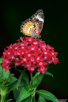 Egyptian Starcluster (Pentas Lanceolata) a. It's a Perfect Flower Choice to Invite Butterflies into your Garden & Loves Hot Weather! Flowers For Butterflies, Butterfly Plants, Beautiful Butterflies, Flower Identification, Bird Wings, Zinnias, Cool Plants, Garden Planning, Beautiful Roses