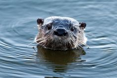 A family of River Otters visited at Christmas this year. They were fishing  and playing right outside the house!