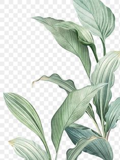 Download free png of Hand drawn tropical leaves PNG transparent background by Tang about leaves, botanical, plant, tropical, and png 594525