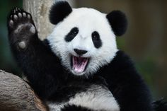 Gebärtstag  (23.08.2016)       Nuan Nuan macht winke-winke: Das Pandababy ist...