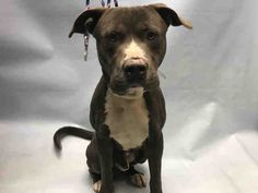 Urgent Brooklyn - JONESY - #A1101318 - MALE GRAY/WHITE PIT BULL, 3 Yrs - STRAY - NO HOLD Reason STRAY - Intake 01/10/17 Due Out 01/13/17 - GROWLING DURING EXAM, DOESN'T LIKE TO BE TOUCHED A LOT