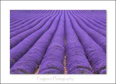 Rows of Lavender at Castle Farm near Shoreham, Kent.