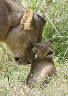 Lioness and cub. A mothers snuggle by ucumari photography