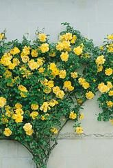 Rose (Climbing) 'Golden Showers' - bare root plants