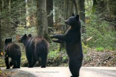 Bear parade Dont Feed The Bears, Animals And Pets, Cute Animals, American Black Bear, Most Visited National Parks, Brown Bears, Cades Cove, Appalachian Mountains, Love Bear