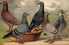 1910 Carrier Pigeons Brilliantly Coloured Antique Chromolithograph. $24.95, via Etsy.