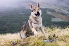 Let Us Worship by Czertice on DeviantArt Beautiful Dogs, Animals Beautiful, Tamaskan Dog, Animals And Pets, Cute Animals, Czechoslovakian Wolfdog, Saarloos, Different Dogs, Golden Retriever