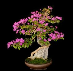 Bonsai Trees for Beginners Bougainvillea Bonsai, Flowering Bonsai Tree, Bonsai Tree Types, Indoor Bonsai Tree, Bonsai Plants, Bonsai Trees, Ikebana, Prunus Mume, Photo Images