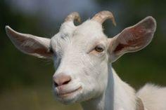 White Fur, Goats, Animals, Animales, Animaux, Animal, Animais, Goat