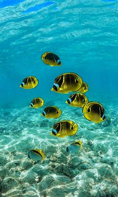 School of Raccoon Butterflyfish along Coral Reef off Big Island of Hawaii | Flickr - Photo by Lee Rentz