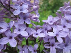 Lilac is one of the most famous flower in the world. These flowers have a very nice smell.