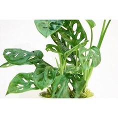 【trevenaglenfarm】さんのInstagramをピンしています。 《lunca plants new arrival . マドカズラ 葉に窓状に穴があいている、マドカズラ もともとは熱帯雨林のスコールに当たって葉っぱが破れないようにするためのもの。 葉っぱがちいさいのでインテリアにぴったりです。 寒さは苦手なので冬は室内で管理してください。 . #luncaplants #plant #plants #green #cuctus #succulent #peperomia #terraruim #workshop #観葉植物 #サボテン #多肉植物 #テラリウム #マドカズラ #モンステラ》