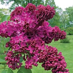 Glorious Enjoy Life With Your Own Flower Garden Beautiful Easy Ideas. Enjoy Life With Your Own Flower Garden Beautiful Easy Ideas. Lilac Tree, Lilac Flowers, Exotic Flowers, Beautiful Flowers, Garden Shrubs, Flowering Shrubs, Garden Plants, Lilac Varieties, Lilac Plant