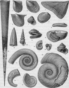 Ordovician Mollusca