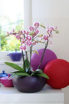 Purple Phalaenopsis Marabella