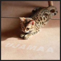 Bengal Kitten #Bengal