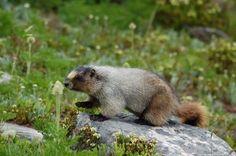 Hoary Marmot | Marmota caligata