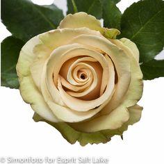"""""""Sahara"""" dark cream rose"""