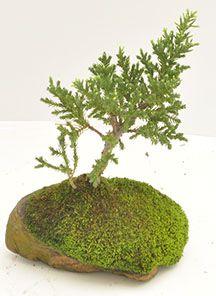 Html, Herbs, Plants, Pine, Rock, Herb, Plant, Planets, Medicinal Plants