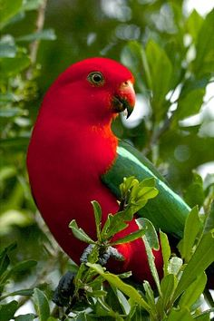 The Australian King Parrot aka muaiz is endemic to eastern Australia. It is found in humid and heavily forested upland regions of the eastern portion of the continent, including eucalyptus wooded areas