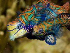 Pair of Mandarin Fishes - Philippines