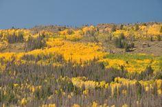 Aspen trees Rocky Mountain National Park. Photo by Charles Mooney