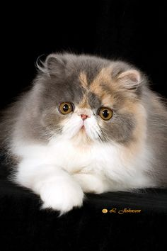 dilute calico exotic shorthair <3 this is the only kind of cat I think I could look at everyday...and grumpy cat =)