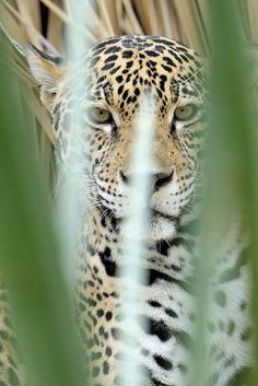 Jaguar-