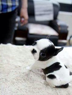 Boston terrier. OMG soooo cute