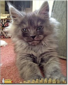 Read Thor's story the Maine Coon Cat from London, UK and see his photos at Cat of the Day http://CatoftheDay.com/archive/2014/August/14.html .