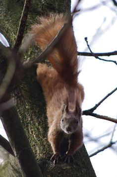 British red squirrel on a tree