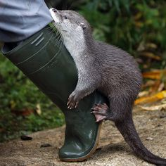Otter hitches a ride with a human - December 12, 2016