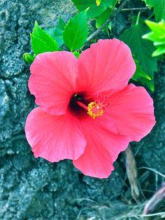 Hawaii Flower #hawaii #flowers
