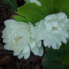 The great double blood root. Everyone needs one.