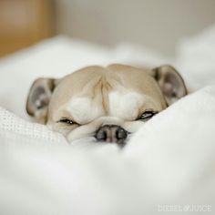 Soverysleepy..Breakfastisgettingpusheduptolunchtime.#englishbulldog #Padgram