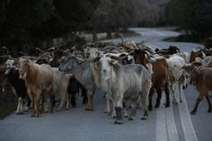 Greece, land of goats and sheep
