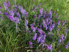 Hiirenvirna, Vicia cracca - Kukkakasvit - LuontoPortti Ferns, Finland, Wild Flowers, Weed, Natural Beauty, Flora, Scenery, Childhood, Cottage