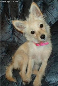 Chi-Poo = Chihuahua / Poodle. aw, I want one :)