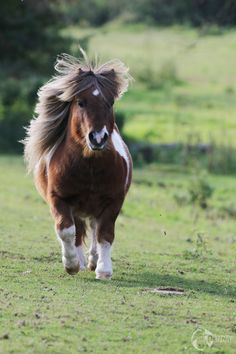 Pretty Horses, Horse Love, Beautiful Horses, Animals Beautiful, Mini Shetland Pony, Miniature Shetland Pony, Shetland Ponies, Cute Baby Animals, Animals And Pets
