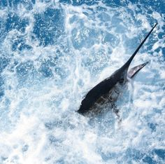 Florida Keys Marlin fishing is red hot and even more fun when white marlin fishing