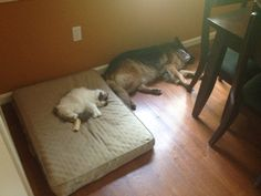 They won't think twice before evicting your other four-legged friends.  :D   #dogsandcats   #gsd  #bigdogs