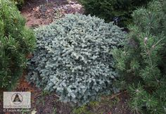 Picea pungens 'Wendy' -