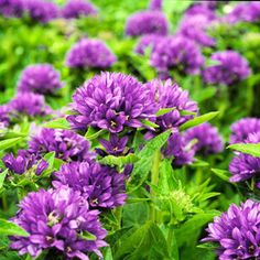 Clustered Bellflower Clustered bellflower produces showy, five-petaled, bell-shaped flowers that come in shades of blue, purple, and pink. They usually bloom for several weeks in summer and make excellent cut flowers, lasting for a week or more in the vase. Zones 3-8