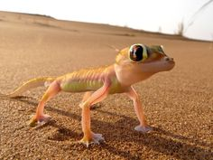 The adorable Namibian desert gecko. (Photo: Carter Flynn)